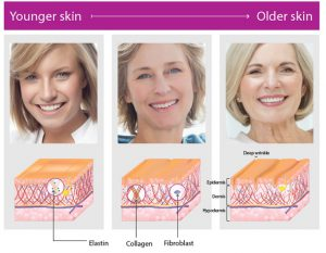 Graphic showing the difference of elastin, collagen and fibroblast in young and old skin